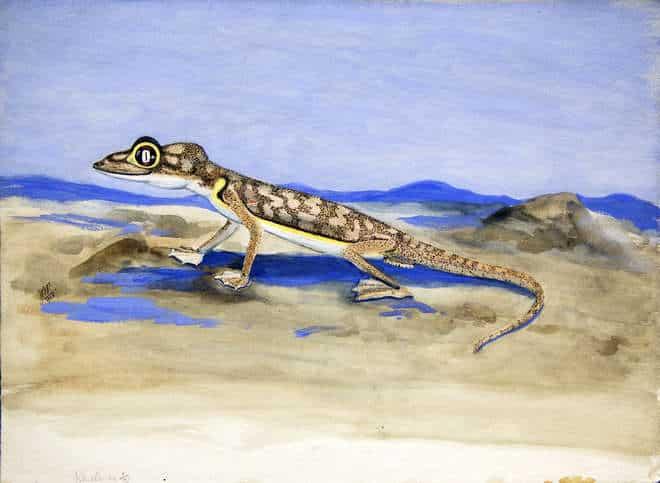 Aquarelle-de-joan-procter-représentant-un-gecko